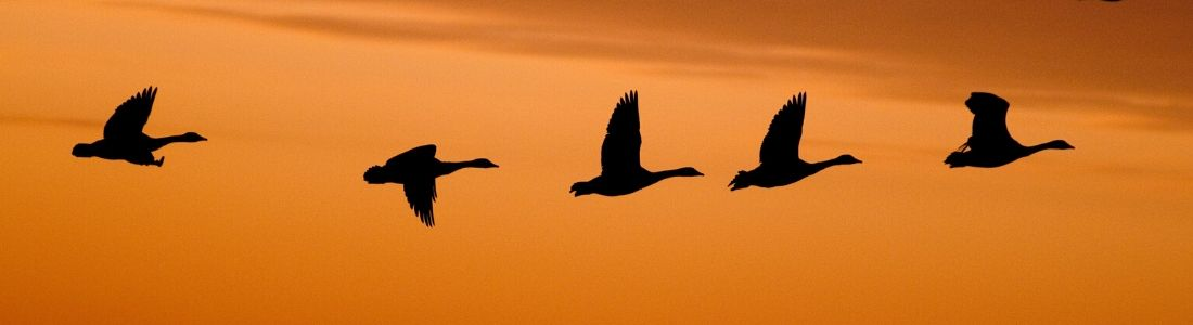 Geese flying at sunrise